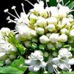 Valeriana – Sedativo naturale